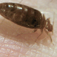 Bed bug image.