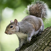 Grey Squirrel image.